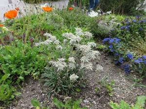 bouquet d'edelweiss